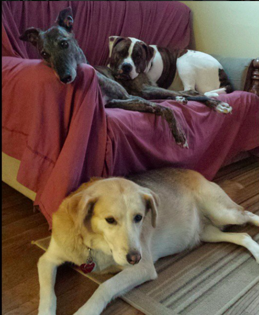 A doggie update + a rare event: getting all 3 dogs in the same picture! As you can see our newest recruit is fitting in fabulously! Sassy is usually laying close to Lucy if Little Man is cuddling with me, or she's laying close to Little Man if Lucy's in the prime cuddle spot. It seems sassy likes to keep close to whomever has wondered the farthest away from me (which is never very far lol). Little man has been extra happy to have Lucy join us because he's gained a snuggle buddy! And since little man wants to be snuggling with someone 23.5 hours of the day, having a back up snuggle buddy has come in super handy! And as for Lucy, she's really settling in and showing us her playful side! She likes romping around the backyard with Little Man, squeaking the stuffed gingerbread man she got for Christmas, and tossing stuffed animals that have lots all their stuffing up in the air. She's a hoot!  P.s. for anyone who's being introduced to my canine crew for the first time, sassy is the hound/husky mix on the floor (8 yrs old), Lucy is the greyhound who's rump is being used as a pillow (6 yrs old), and Little Man is the am bull mix who's resting his head on Lucy (4 yrs old). (January 10, 2015)