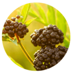 elderberry cleansing oil for face - oil cleanser for acne and oily skin