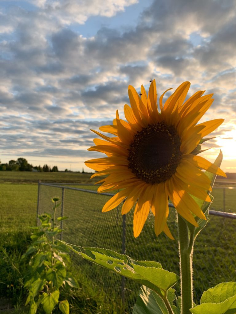 Why natural sunflower oil is so good for our skin