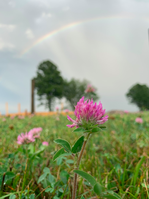 pink clover blossoms and a rainbow over lily's place animal sanctuary in ontario canada