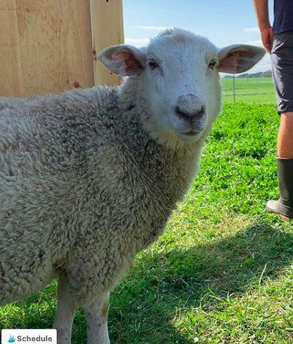 Sid the Sheep - rescued lamb living at lily's place animal sanctuary