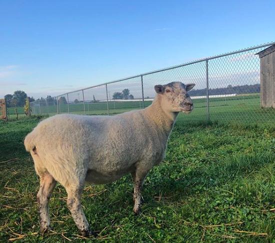 Betty White the Sheep
