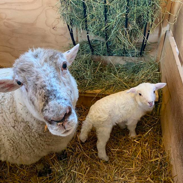 Betty the ewe and Gracie the lamb