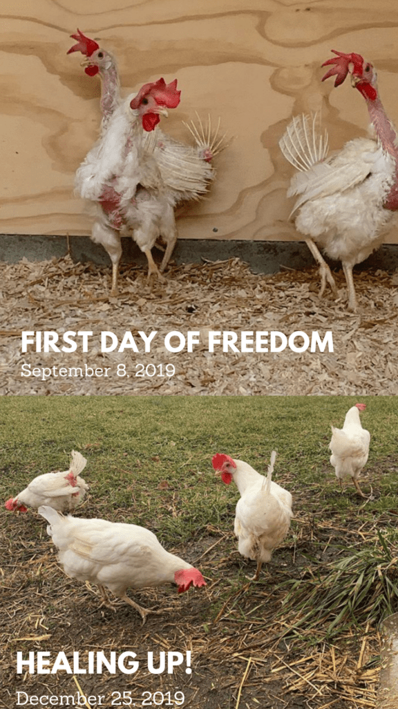 Chicken Rescue - Before and after pictures