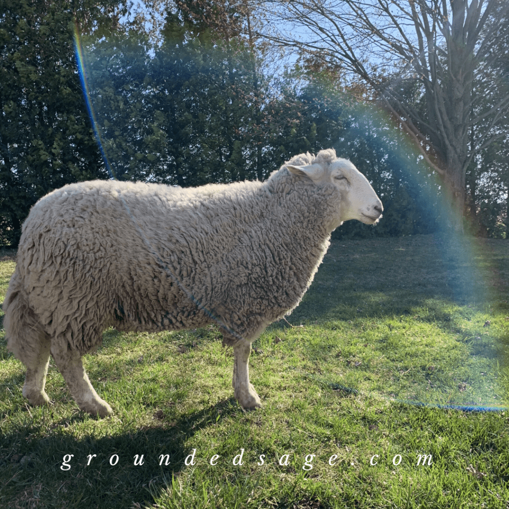 Cute farm animals and pets - Sid the sheep standing in the sunlight under a rainbow lens flare brings me so much joy and happiness - picture taken at Lily's Place Animal Sanctuary