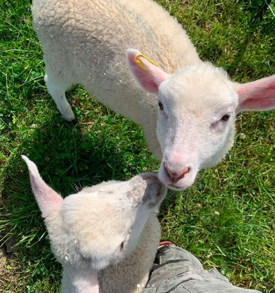 Orphan Annie and Punky Brewster - two rescue lambs living at lily's place animal sanctuary in ontario canada